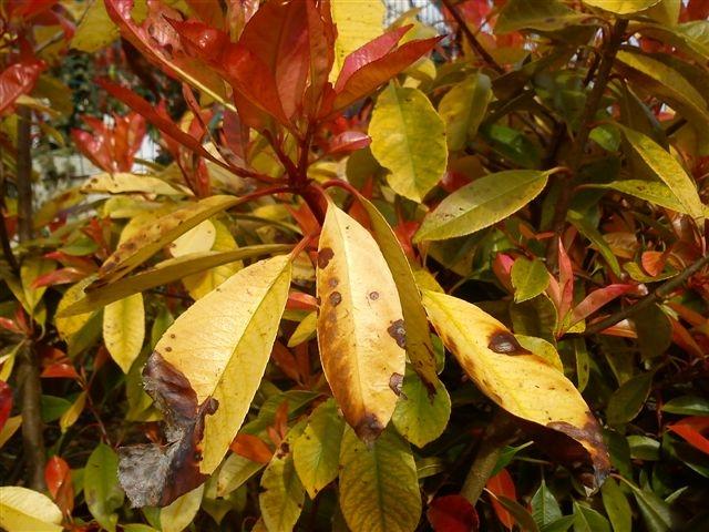 photinia malades feuilles jaunes et marron au jardin forum de jardinage. Black Bedroom Furniture Sets. Home Design Ideas